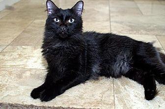 Domestic Mediumhair Cat for adoption in Chandler, Arizona - Monty