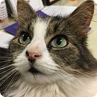 Adopt A Pet :: Cuddles - Tioga, PA