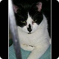 Adopt A Pet :: Domino - Pompton Plains, NJ