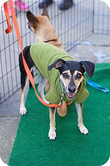 Terrier (Unknown Type, Small) Mix Dog for adoption in San Francisco, California - Lia