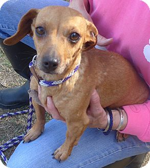 Chihuahua/Dachshund Mix Dog for adoption in Manning, South Carolina - Ears