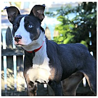 Adopt A Pet :: Candice - Forked River, NJ