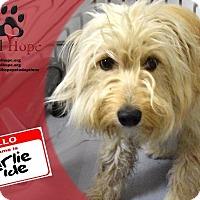 Adopt A Pet :: Charlie Pride - Fort Worth, TX