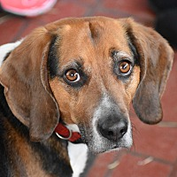 Beagle Mix Dog for adoption in Pine Bush, New York - Bandit