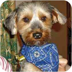 Yorkie, Yorkshire Terrier Dog for adoption in stella, North Carolina - Monty