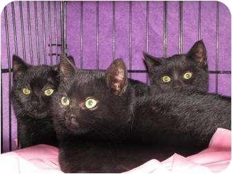 Domestic Shorthair Cat for adoption in Roseville, Minnesota - Black kittens