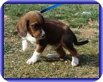 Beagle Mix Puppy for adoption in Plainfield, Connecticut - Zues