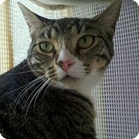 Domestic Shorthair Cat for adoption in Richboro, Pennsylvania - Rotini