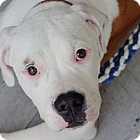 Adopt A Pet :: Squishie - Reisterstown, MD