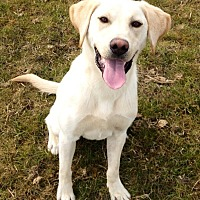 Labrador Retriever Dog for adoption in Long Beach, California - Jolie