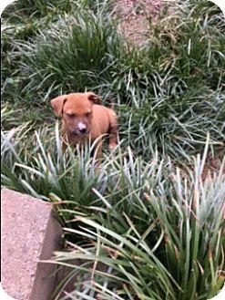 Pit Bull Terrier/Boxer Mix Puppy for adoption in Harrisonburg, Virginia - Mango