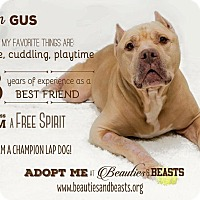 American Staffordshire Terrier Mix Dog for adoption in Wichita, Kansas - Gus