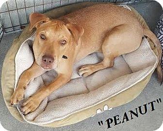 Labrador Retriever/Boxer Mix Puppy for adoption in El Cajon, California - Peanut