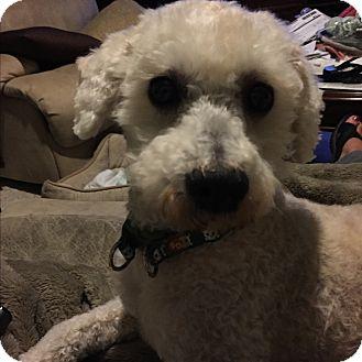Bichon Frise/Poodle (Miniature) Mix Dog for adoption in Glastonbury, Connecticut - Murphy