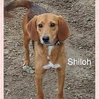 Hound (Unknown Type)/Beagle Mix Dog for adoption in Norfolk, Virginia - Shiloh