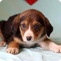 Adopt A Pet :: Korey - Waldorf, MD