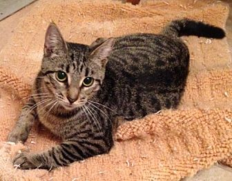 Domestic Shorthair Cat for adoption in oakland park, Florida - Tiger