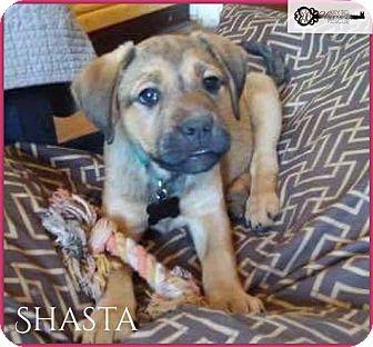 Shepherd (Unknown Type) Mix Puppy for adoption in DeForest, Wisconsin - Shasta