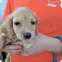 Adopt A Pet :: Annelle - Washington, DC