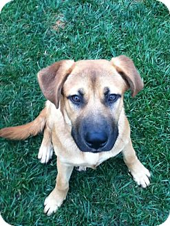 Anatolian Shepherd/Labrador Retriever Mix Puppy for adoption in Torrance, California - Brody