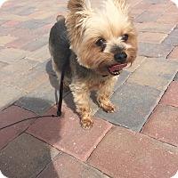 Adopt A Pet :: Cali - Seminole, FL