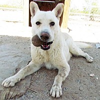 Adopt A Pet :: Kodiak - San Tan Valley, AZ