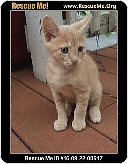 Domestic Shorthair Kitten for adoption in Waldorf, Maryland - Sam
