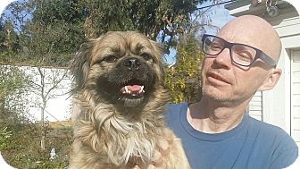 Tibetan Spaniel Dog for adoption in SO CALIF, California - ARTIE