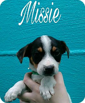 Chihuahua/Jack Russell Terrier Mix Puppy for adoption in Oxford, Connecticut - Missie