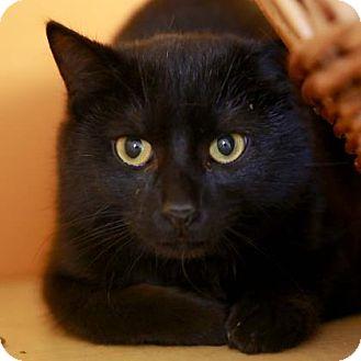 Domestic Shorthair Cat for adoption in Kettering, Ohio - Luke