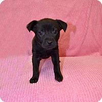 Adopt A Pet :: Ambrosia - New Milford, CT