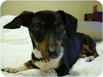 Dachshund Dog for adoption in Sulphur Springs, Texas - Harrison