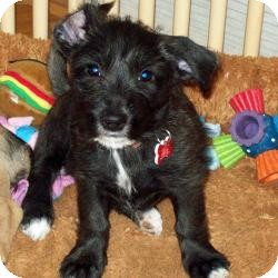 Yorkie, Yorkshire Terrier/Cairn Terrier Mix Puppy for adoption in Tallahassee, Florida - Pippi