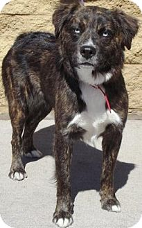 Australian Shepherd Mix Dog for adoption in Gilbert, Arizona - Bella Donna
