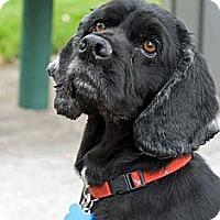 Adopt A Pet :: BLACKIE - Tacoma, WA