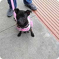 Adopt A Pet :: Minnie Pup Tart - Irving, TX