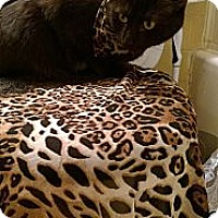 Adopt A Pet :: Cinna Lee - Chesapeake, VA