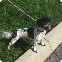 Adopt A Pet :: Alfie - Meridian, ID