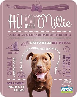 American Staffordshire Terrier Mix Dog for adoption in Jacksonville, Florida - Millie