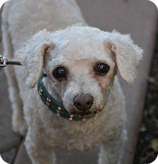 Poodle (Miniature)/Maltese Mix Dog for adoption in Phoenix, Arizona - Shanti