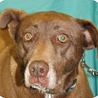 Labrador Retriever Mix Dog for adoption in New Roads, Louisiana - Latte