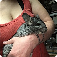 Adopt A Pet :: 6 year grey female chinchilla - Hammond, IN