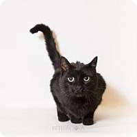 Bombay Cat for adoption in Los Alamos, New Mexico - Sam