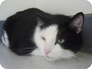Domestic Shorthair Cat for adoption in Milwaukee, Wisconsin - Arnie