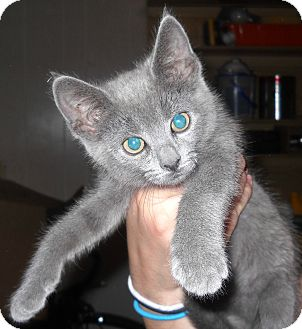 Domestic Shorthair Kitten for adoption in Temple, Pennsylvania - Squeak
