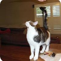 American Shorthair Cat for adoption in Mission Viejo, California - Samba