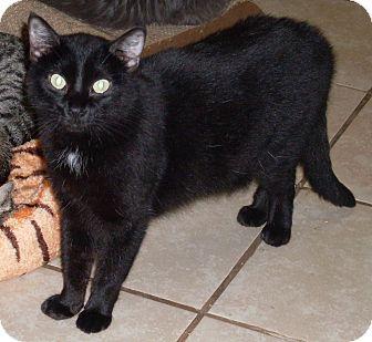 Domestic Mediumhair Cat for adoption in Pueblo, Colorado - Mystery