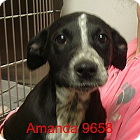 Adopt A Pet :: Amanda - Greencastle, NC