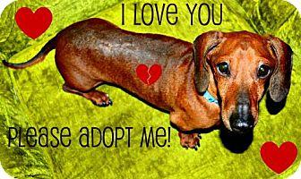 Dachshund Dog for adoption in Humble, Texas - RJ