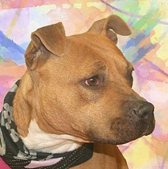 Labrador Retriever/Pit Bull Terrier Mix Dog for adoption in Cincinnati, Ohio - Callie